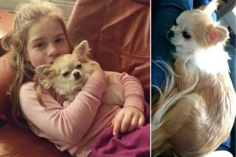 Chihuahuaen Luna på fanget til Celine Storøy