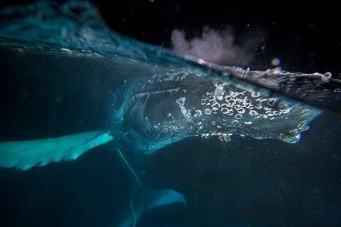 SATTE SEG FAST: Hvalen endte opp i fiberledninga, som ble kappet under redningsaksjonen sist fredag.