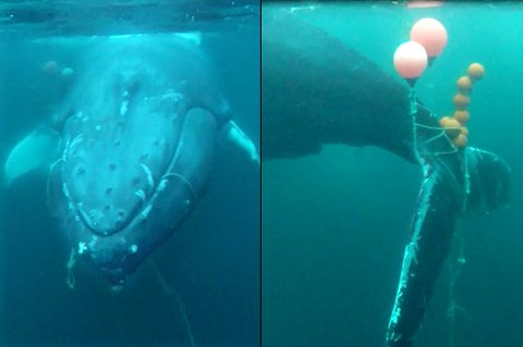 BOM FAST: Knølhvalen hadde gått seg helt fast i torsketgarnet, da han ble oppdaget av en padler.