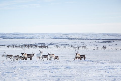 PÅKJØRT: To reinsdyr ble drept, mens en klarte seg. illustrasjonsfoto.