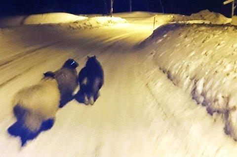 PÅ EVENTYR: De tre sauene er her på tur på Elverhøy etter å ha kommet seg over gjerdet. Foto: Kirsten Buck Rustad