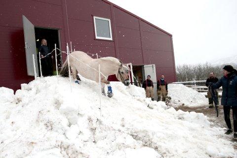 ENDELIG FRI: Her løper Lita (15) ned den improviserte snørampen bygget utenfor låven hos Tromsø rideskole. På jakt etter mat hadde hun tatt seg ut av båsen sin natt til mandag og gått opp på loftet. Herfra kom hun seg ingen vei.