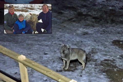 UTENFOR VINDUET: Ulven ble stående å kikke frem og tilbake mellom sauene og Heidi Bjerknes før den løp til skogs.