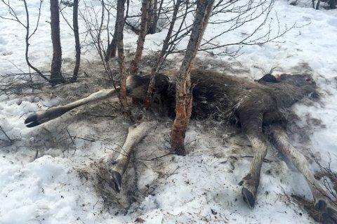 I BUSKEFELLA: En sjeldent ublid skjebne for en elg.