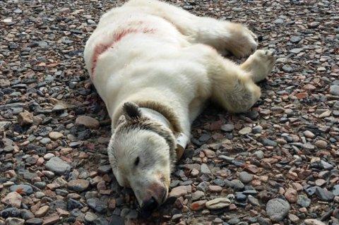 Isbjørnbinna ble skutt avfangstfolk som jobber på fangsthytta på Austfjordnes. FOTO: Sysselmannen Svalbard