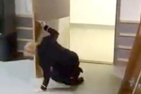 RETT I BAKKEN: Louise Berglund gikk i bakken etter møtet med papp-bjørnen.