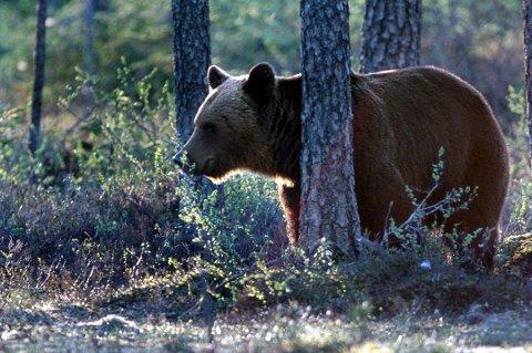 SETT PÅ E8: Bjørnen prøvde å komme seg over veien, hevder kvinnelig bilist.