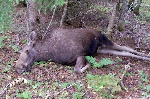 Død elg i Rostaddalen.