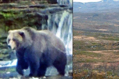 BAMSEFAR: Det var en stor bjørn jegerne møtte under elgjakt lørdag. SNO rykket ut for å kartlegge bamsen. Til høyre er bjønrn (øverst, midt i bildet) sett fra rundt 800 meters avstand. Foto: SNO/Tor Eriksen
