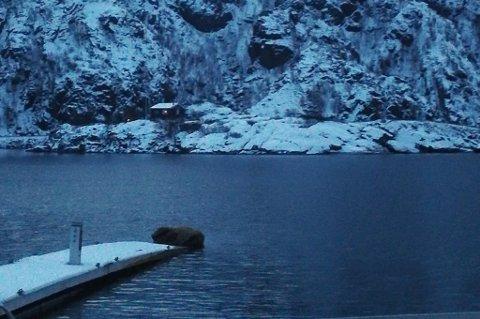 SLAPPER AV: Esten Skullerud tok dette bildet fra Hamn i Senja. Ytterst på brygga ligger hvalrossen og slapper av.