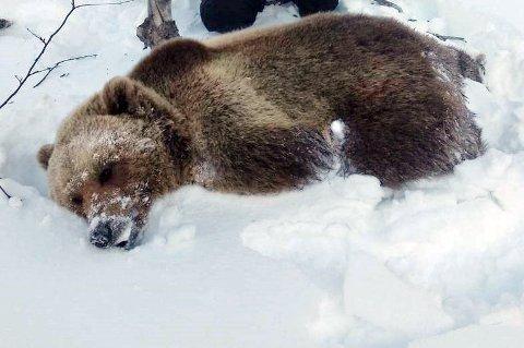 Bjørnen ble felt for å hindre nye sauedrap til sommeren.