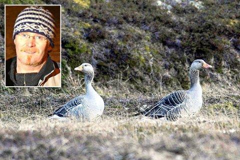 VIL FELLE: Jarle Enoksen (innfelt) ønsker å felle 35 grågås for å sikre at husdyrene på gården på Musvær får beite i fred.