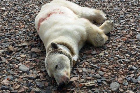 DØDE: Isbjørnbinna og ungen ble avlivet i fjor. Obduksjonen fant gammelt haglskudd i begge dyrene.