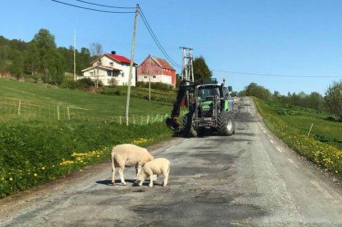 Her beiter sauene midt på veien... Foto: Knut Berg Jenssen