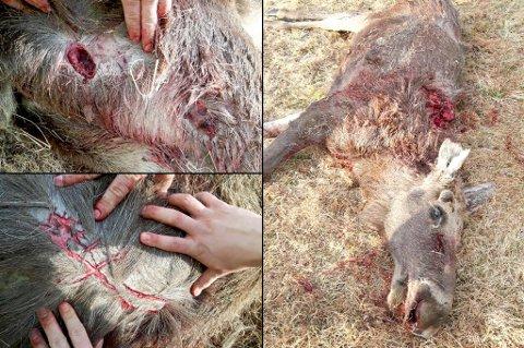 """KLOREMERKER OG BITT: Bjørnen avlivet sitt bytte ved å bite med sine kraftige kjever. Kloremerkene oppstår som regel etter """"håndtering"""" av byttedyret."""