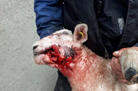 MÅTTE AVLIVES: Denne sauen måtte tirsdag avlives på grunn av skadene den ble påført av det som trolig er jerv. Bonde Morten Fredriksen må konstatere at fem sau og lam er skadet så langt.
