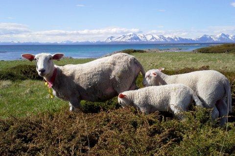 To lam ble morløse da sauen ble jaget på havet av hund. Her er en annen sau med lam i det samme området.