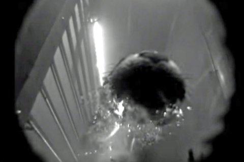 TATT PÅ FERSKEN: Her blir oteren fanget av kameraet i laksetrappen mens den er på jakt etter fisk. Foto: Skjermdump/Youtube/Sum