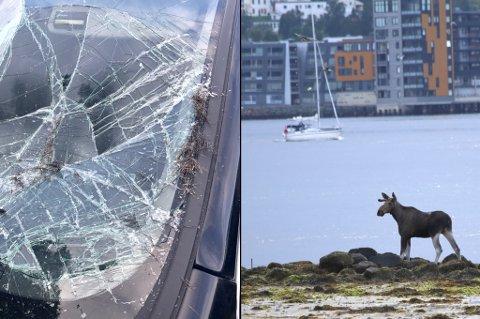 ELGKAOS: Elg og tettbebygde Tromsøya var ingen god kombinasjon søndag. En av de tre elgene ble så skremt av folkemengden som skulle på TIL-kamp, at dyret løp rett inn i denne bilen på Alfheim.