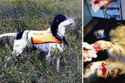 STYGT KVESTET: Engelsksetteren Dråka ble stygt kvestet på jakt i Nordreisa lørdag morgen. Veterinæren mener hunden trolig har skåret seg på knust glass.