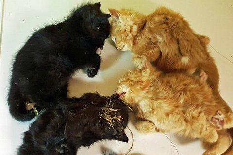 TRIST SYN: De små kattungene ble rundt åtte uker gamle. Til sammen var det seks kattunger som døde, her er fira av dem etter at de var hentet ut fra låven.