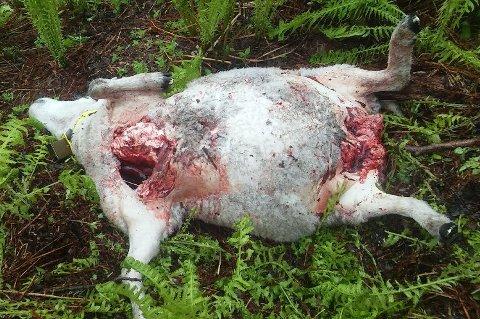 DREPT: En av sauene som ble drept av bjørn i Bardu.