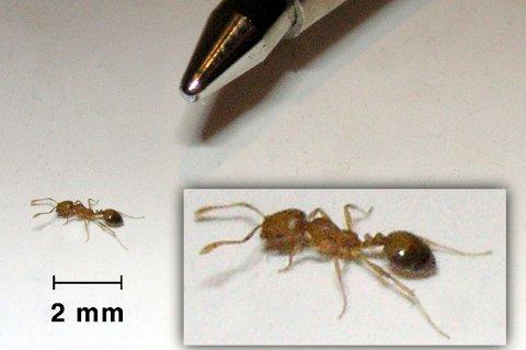 KNØTTLITEN: Faraomauren måler bare to millimeter, og er på størrelse med ei hodelus.