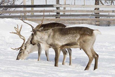 TVANGSSLAKTING: Reindriftutøverne har de siste årene måttet slakte ned dyr av økologiske grunner. Beiteproblemene er størst på vinteren.  (illustrasjonsfoto).