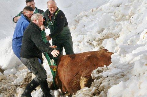 DRAMATIKK: Her har bonden Frank Gunnar Sivertsen (nærmest) i lag med gode hjelpere klart å dra ut ei av de drektige kyrne fra det sammenraste fjøset. Noen minutter seinere kom kua seg på beina og viste seg å være uskadd.