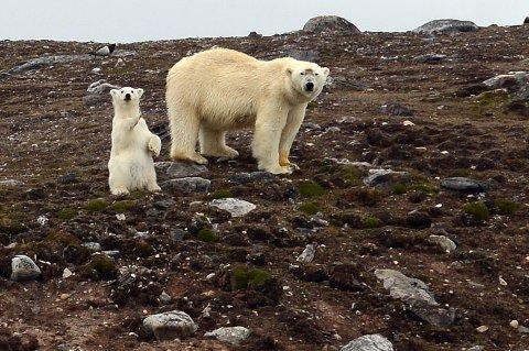 EGGTYVER: Disse to var søndag på eggplyndring på en holme i Kongsfjorden på Svalbard.