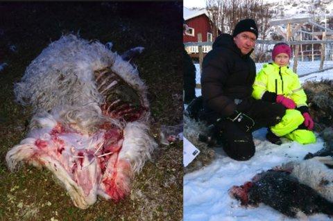 NYTT ANGREP: Kurt Solheim og datteren Stina ved noen av de døde dyrene. - Stina hadde navn på alle sauene. Dette var en fryktelig trasig opplevelse, sa sauebonden tidligere i vinter. Nå er sauebonden på nytt rammet.
