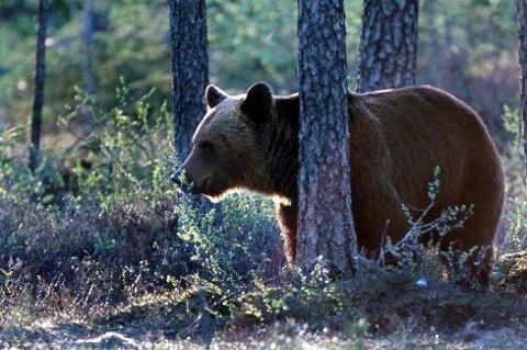 OBSERVASJON: To voksne personer skal ha observert bjørnen vest for Bjerkvik og sendt inn melding til Statens naturoppsyn (SNO) forrige torsdag.