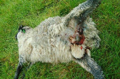 SAU DREPT: En av Sten Nystads sauer måtte bøte med livet etter huskyer kom inn i innmarksområdet hans i dag. Foto: Privat