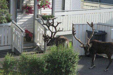 VIL HA OVERSIKT: Fylkesmannen skal finne ut hvor mange reinsdyr det er på Kvaløya. Her er to dyr fotografert ved et bolighus på øya for noen år siden.