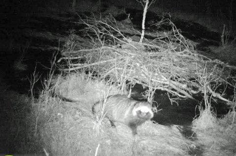 SETT I RAMFJORD: Her blir en mårhund fanget av et viltkamera utplassert ved reveåte i Ramfjord i 2017. Tina Nordmo fikke bilde av dyret hun observerte.