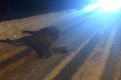 DØD: Elgen ble fjernet av Walters bilberging slik at veien kunne åpne.