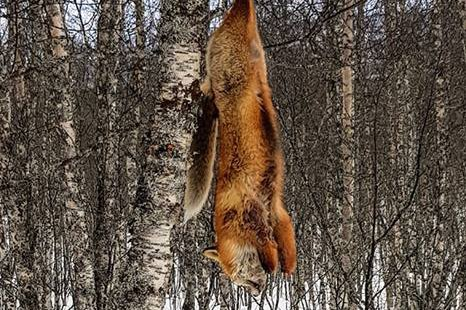 HENGT OPP: Toril Dybdal kom søndag ettermiddag over denne døde reven, hengende fra et tre like ved lysløypa på Setermoen.