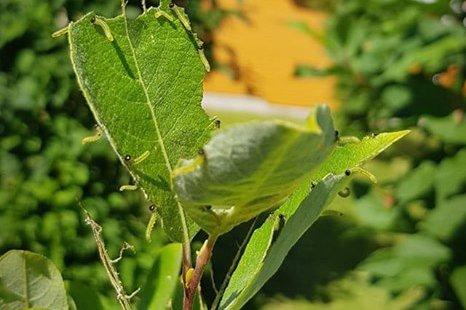 LARVEFEST: På Salix-treet i hagen til Veronica Hege A. Walle er det en liten koloni av larver som forsyner seg av bladene på treet.