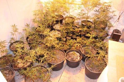 BESLAG: Politiet fant en rekke cannabisplanter da de aksjonerte i Målselv i september 2017. De fire mennene som nå er domfelt i saken, har forklart at plantene var til eget bruk.