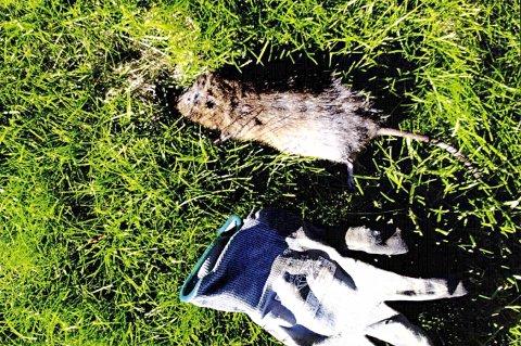 EKKELT: Rotta ble funnet flytende i drikkevannet, ifølge den anonyme bekymringsmeldinga.