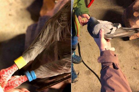 IKKE BREVDUE: Den skadde duen i garasjen til Lars Bakken Aune har to forskjellige ringmerker på beina. Det er ikke en brevdue. Foto: Privat