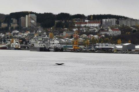 HVAL I ALL VERDEN: Dette er blitt et sjeldent syn i fjordene inne i Tromsø.