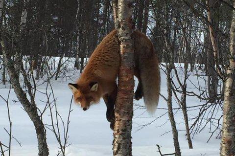KVIKNET TIL: Da øynene begynte å bevege på seg, skjønte Aina Bjørnenak at reven slettes ikke var død.