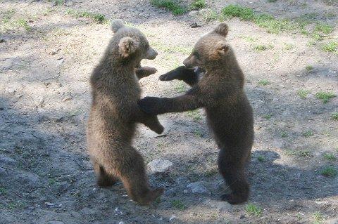 LEKER: Tvillingbjørnene leker og tullesloss.