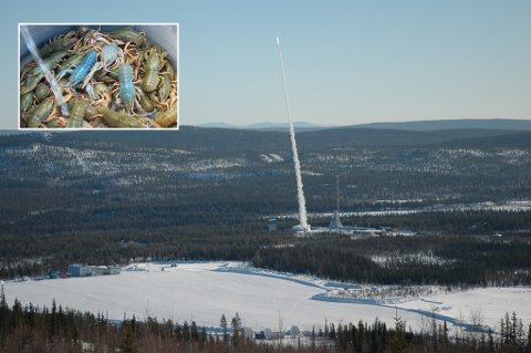 Rakettskytefeltet Esrange ved Kiruna er vert for tyske forskere som sender kreps og småfisk opp i verdensrommet.