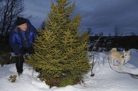 Tettvokst fjellgran: Fjelloppsyn Harald Ranum byr fram gratis juletre i allmenning ved Vaset. Gratis juletre og granved er allmenningsstyrets tiltak for å hindre gjengroinga i fjellet. Foto: Ingvar Skattebu
