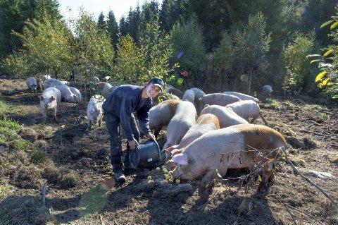 50 frittgående gris: Her får de bare kortreist mat, sier Hans Tore Lie i det han serverer epler til sine 50 griser. Nå er det snart tid for salg og slakting. foto: Asbjørn Risbakken