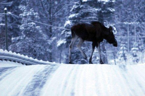 STORE SKADER: Hvis du ikke ser elgen tidsnok, kan det bli store skader i en kollisjon. (Arkivbilde)
