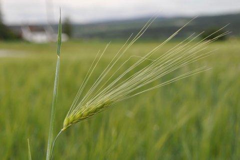 KAN BLI FORRINGET: Kvaliteten på kornet som står igjen på åkeren kan bli forringet av regnet.