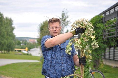 Stor plante: Snorre Draumås står her med det han vil klassifisere som en liten Tromsøpalme.  Beskyttelseshanskene er viktig for å unngå giften.